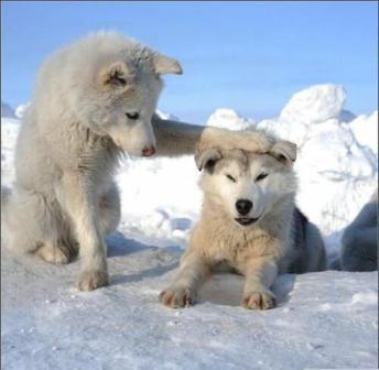 雪犬.jpg